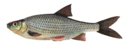 фото. плотва. рыба